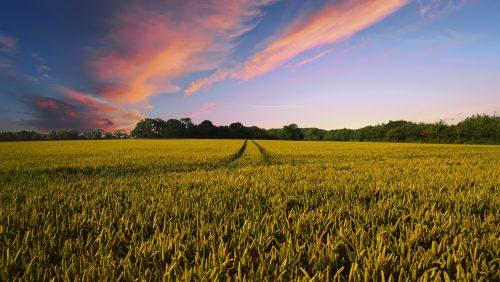 Getreidefeld im Sommer mit Zecken