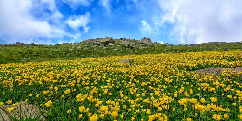 Wiese mit gelben Blumen und Zecken