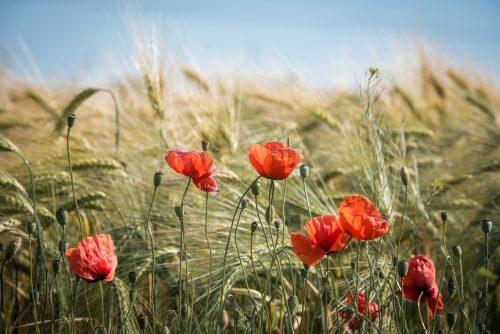 Zecken im Getreidefeld im Sommer mit Mohnblumen